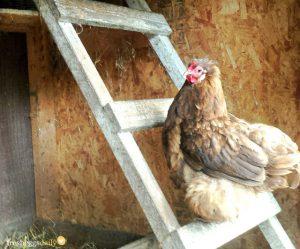sovende høns - indretning og hønsegården