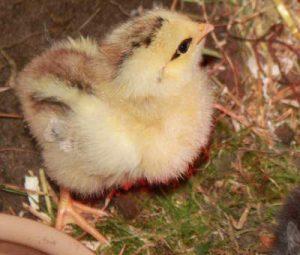 3 dage gammel og sund kylling!