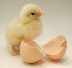 rugetips - udrugning af kyllinger udrugning af hønseæg