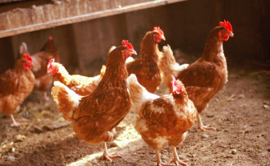 rengøring af hønsehus