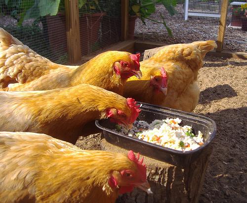 foder til høns: madrester