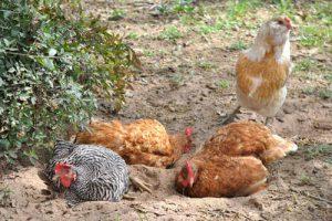 hønsefoder - støvbadning