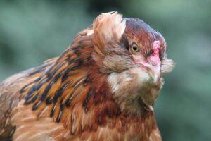 Araucana, høns af racen araucana