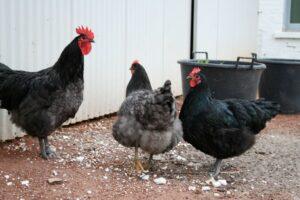 Australorps, høns af racen Australorps. Læs mere på hønsehus.dk