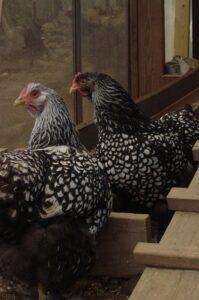Wyandotter, wyandotter sølvrandet høns
