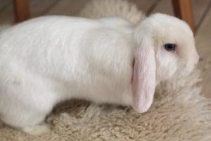 Dværgvædder kaninrace, kaninracer