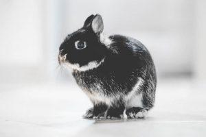 Hermelin kanin, hermelin kaninrace, kaninracer,