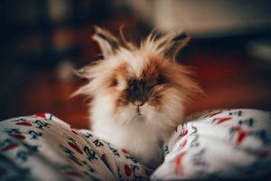 Løvehoved kanin, løvehovede kaninrace