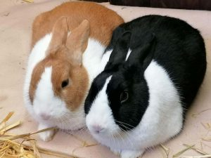 Hollænder kanin, kanin hollænder, dutch rabbit