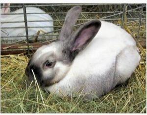 Sallander kanin, sallander kaninrace